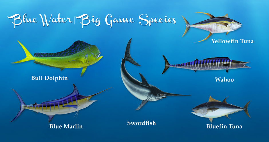 gulfofmexico_bluewaterbiggame_species