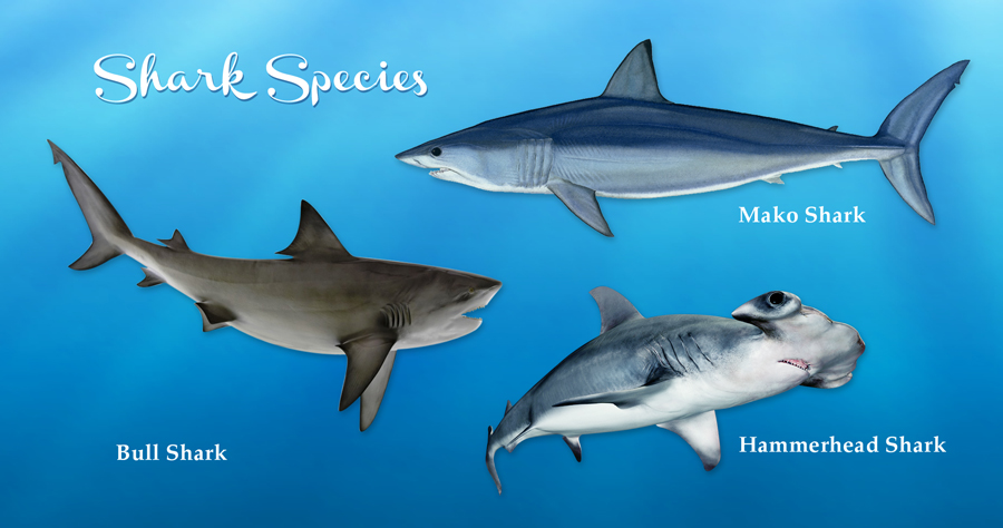 gulfofmexico_sharkspecies