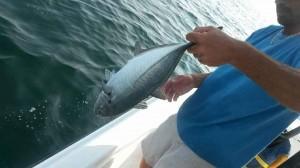 near shore trolling gulf shores alabama fishing guide and Blue Runner