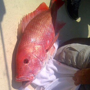 big gulf of mexico red snapper released live in July 2014