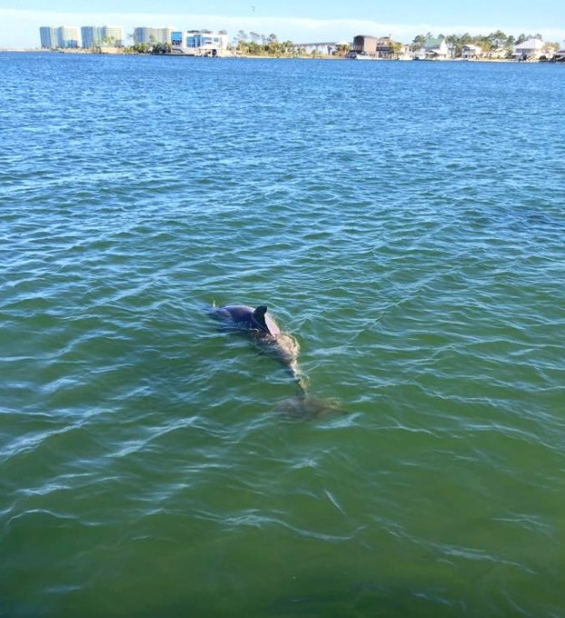 wild dolphin along the alabama gulf coast photographed during a gulf shores al dolphin cruise