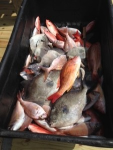 Triggerfish Snapper caught bottom fishing along the AL Gulf Coast