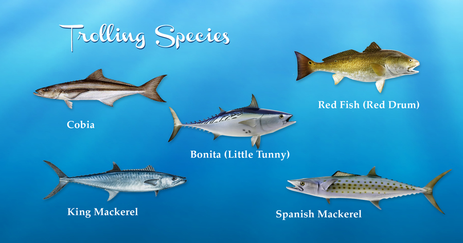 Cobia Red Fish Drum King Mackerel Spanish Bonita